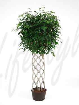 welcher geflochtene stamm ist meiner pachira pflanzen botanik green24 hilfe pflege bilder. Black Bedroom Furniture Sets. Home Design Ideas